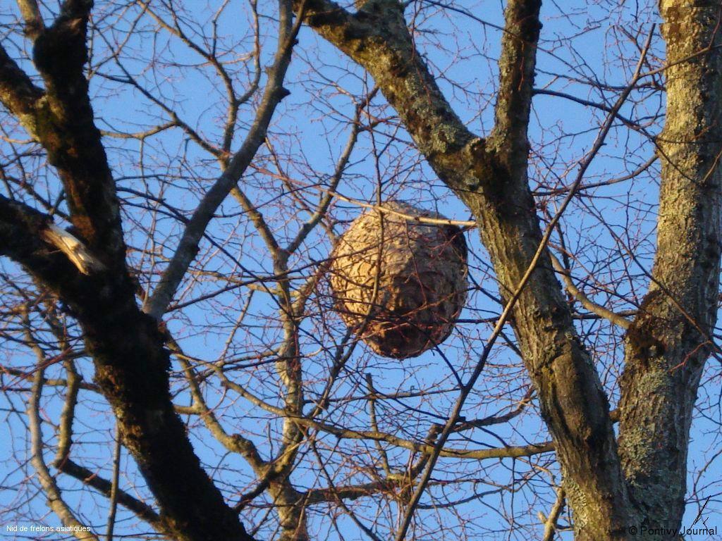 Comment d truire un nid de frelon - Comment detruire un nid de frelons ...